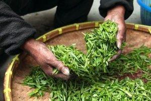realizar aceite arbol del té