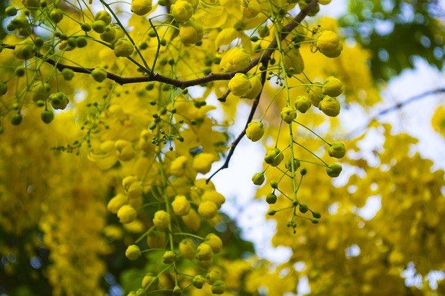hojas de cassia